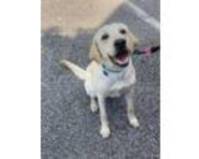 Adopt Luke a Tan/Yellow/Fawn Labrador Retriever / Mixed dog in Atlanta