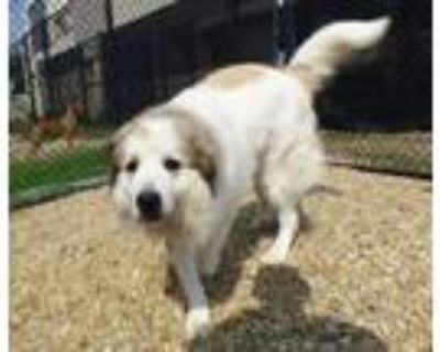 Adopt 48168783 a Great Pyrenees