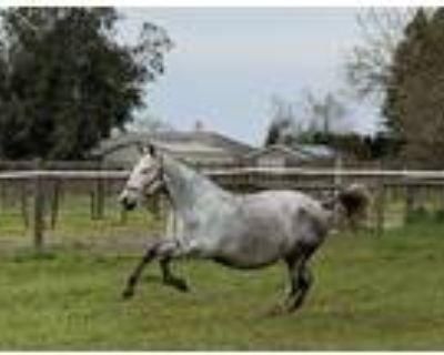 Brilliant Moving PRE Broodmare Awesome Producer