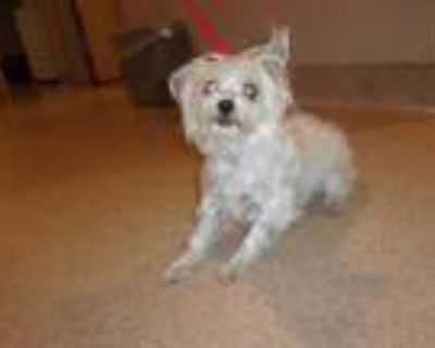Adopt Pesto-Rescue Only a White Poodle (Miniature) / Mixed dog in Arlington