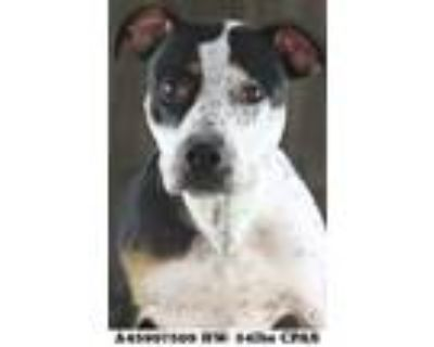 Adopt Bella a White Terrier (Unknown Type, Small) / Mixed dog in Shreveport