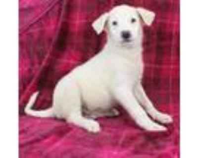 Adopt Ozzie a Labrador Retriever, Cattle Dog