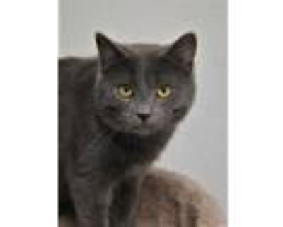 Adopt Cinder a Gray or Blue Russian Blue / Domestic Shorthair / Mixed cat in
