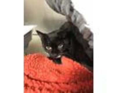 Adopt CiCi a Domestic Shorthair / Mixed (short coat) cat in Fort Myers