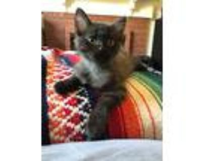 Phoebe, Domestic Mediumhair For Adoption In Los Angeles, California