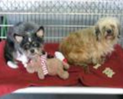 Adopt BEAUTY a Yorkshire Terrier, Poodle