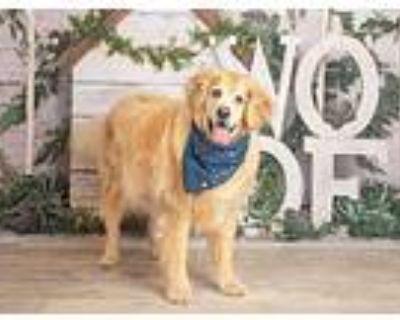 Sherlock, Golden Retriever For Adoption In Dallas, Texas