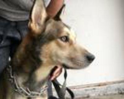 Adopt Hunter a Black - with Tan, Yellow or Fawn Husky / German Shepherd Dog /
