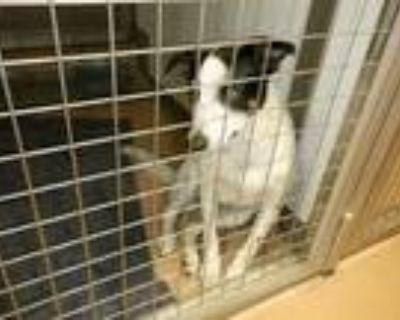 Adopt STORM a Border Collie, Australian Cattle Dog / Blue Heeler