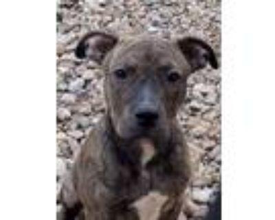 Adopt Mindy a Terrier, Labrador Retriever
