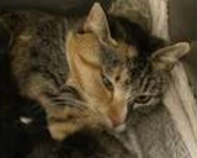 Adopt Althea a Domestic Shorthair / Mixed (short coat) cat in Portsmouth