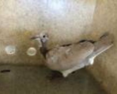 Adopt a Tan Dove / Mixed bird in Castaic, CA (31512821)