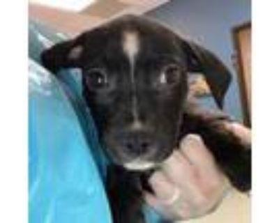 Adopt Rupee a Boxer, Labrador Retriever