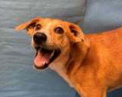 Adopt Nelson a Red/Golden/Orange/Chestnut Hound (Unknown Type) / Labrador