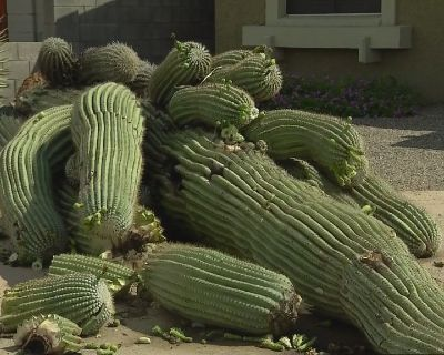 Saguaro Cactus Removal Gilbert Az 85233 85234 * Afforable Prices * Same Day Service * Insured