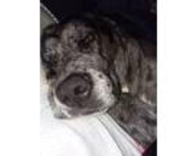 Adopt Shawna a Merle Great Dane / Mastiff / Mixed dog in El Paso, TX (31968764)