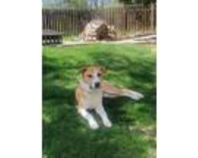 Adopt Tito aka Ralph a Tan/Yellow/Fawn - with White Pit Bull Terrier / Husky dog