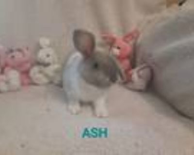 Adopt Ash a Grey/Silver Harlequin / Mixed (short coat) rabbit in West Pelzer