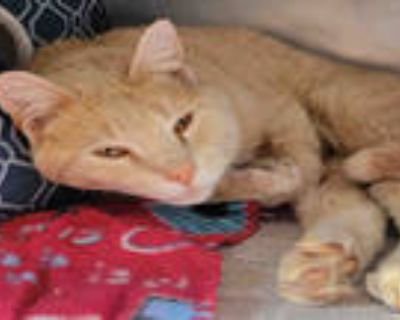 Adopt GUSS a Cream or Ivory Domestic Shorthair / Mixed (short coat) cat in