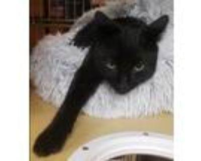 Adopt Terk a All Black Domestic Shorthair (short coat) cat in Los Angeles