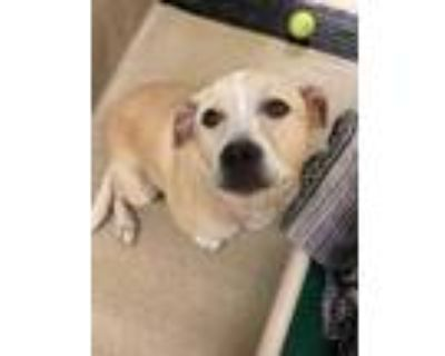 Adopt Cincy a Tan/Yellow/Fawn American Pit Bull Terrier / Mixed dog in Newport