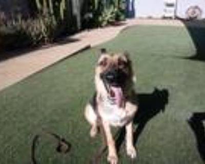 Adopt Riley a Tricolor (Tan/Brown & Black & White) Shepherd (Unknown Type) /
