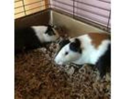 Chess And Checkers, Guinea Pig For Adoption In Baltimore, Maryland