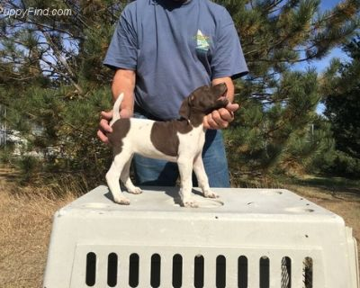 German Shorthaired Pointer Puppy for Sale - Rolf Sa