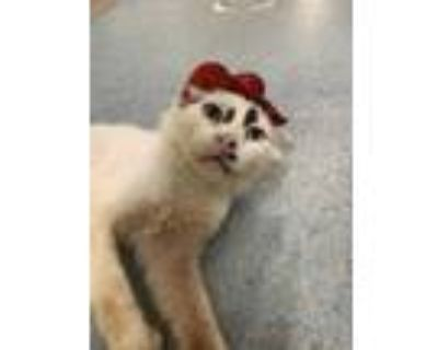 Adopt Pokemon a White Domestic Longhair / Domestic Shorthair / Mixed cat in