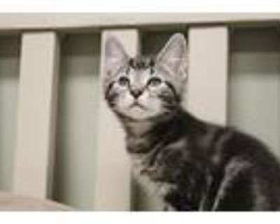 Net, Domestic Shorthair For Adoption In Chestertown, Maryland