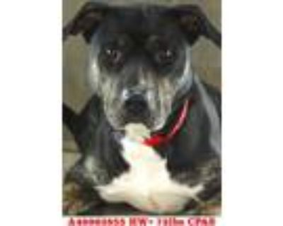 Adopt Missy a Black American Pit Bull Terrier / Boxer / Mixed dog in Shreveport