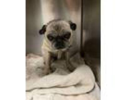 Adopt Bessie a Pug / Mixed dog in Gardena, CA (31452634)