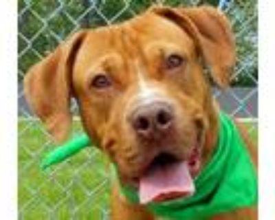 Adopt Bruno a Boxer, Retriever