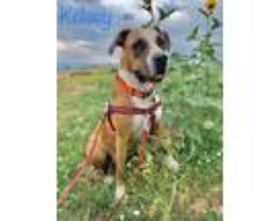 Adopt Kelsey a Tricolor (Tan/Brown & Black & White) Boxer / Pit Bull Terrier /