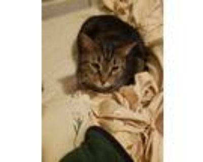 Adopt Rocket a Domestic Shorthair / Mixed cat in Smyrna, GA (25659506)