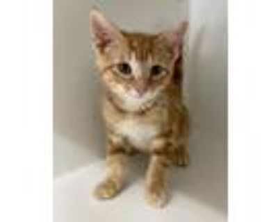 Adopt Syrus a Orange or Red Tabby Domestic Shorthair / Mixed cat in Rochester