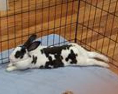 Adopt Amy a White Rex / Mixed rabbit in Woburn, MA (31634473)