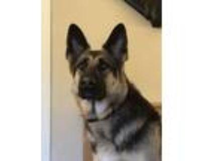 Adopt Livy a German Shepherd Dog