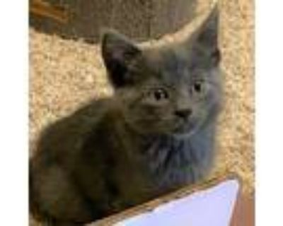 Adopt Doris a Gray or Blue Domestic Shorthair / Mixed cat in St.