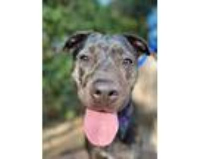 Adopt Crackers a Staffordshire Bull Terrier