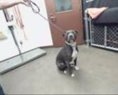 Adopt POPSICLE a Pit Bull Terrier, Mixed Breed