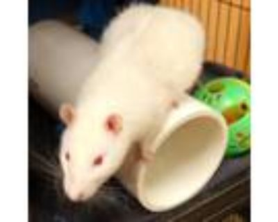 Adopt Micah pp w/ Picca a White Rat / Mixed small animal in Ann Arbor