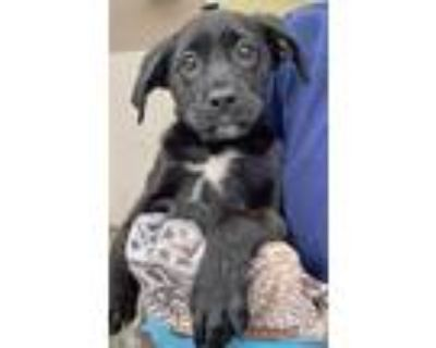 Adopt Dimples a Black - with White Shepherd (Unknown Type) / Mixed dog in