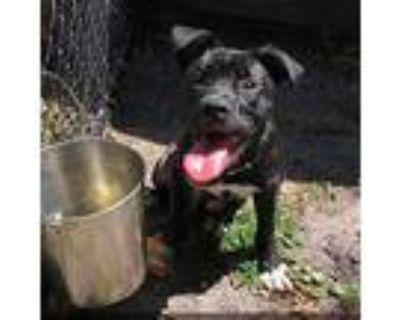 Carson, Labrador Retriever For Adoption In Newport, North Carolina