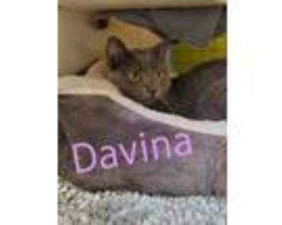 Adopt Davina Claire a Chartreux, Domestic Short Hair
