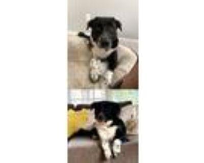Adopt Oreo a Border Collie / Mixed dog in Chantilly, VA (31602189)