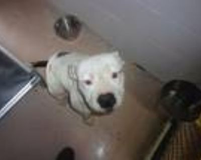 Adopt Dynamo a White - with Black Staffordshire Bull Terrier / Mixed dog in