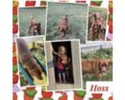 Adopt Hoss a Labrador Retriever