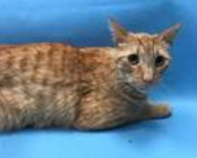 Adopt Butter Pecan a Orange or Red Domestic Shorthair / Mixed cat in Coon