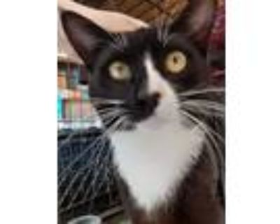 Adopt Milo D a Black & White or Tuxedo Domestic Shorthair / Mixed cat in